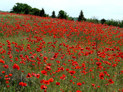 Ukraine, Crimea, poppy seed flower field