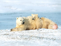 animal, arctic, polar bear, mammal, fauna, bear,