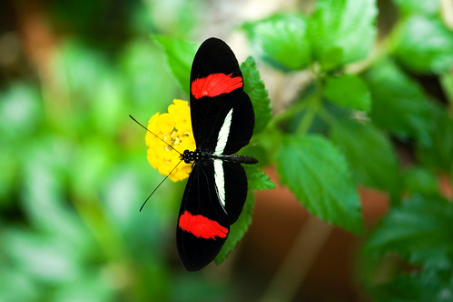 Black with Red Butterfly