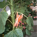 Small photo of Action Man hangs from sunflower