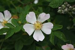 rosa wichuraiana, blossom, shrub, flower, plant, rosa rubiginosa, rosa canina, flora, rosa multiflora, rosa acicularis, rosa pimpinellifolia, petal,