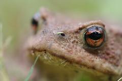 animal, amphibian, toad, frog, macro photography, fauna, close-up, ranidae, bullfrog, wildlife,
