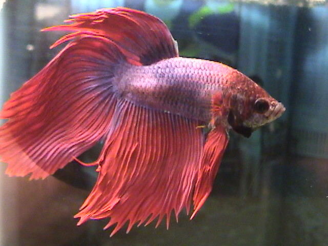 Betta fish flickr photo sharing for Healthy betta fish