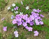 Spreading Phlox - Photo (c) J Brew, some rights reserved (CC BY-SA)