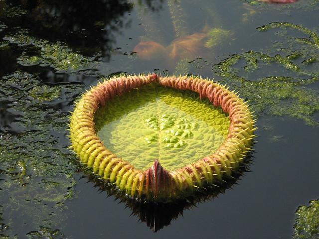 Victoria Amazonica in de Hortus Botanicus te Amsterdam