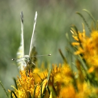 (9:09 am) White Butterfly in the sagebrush
