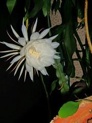 flower, leaf, yellow, plant, flora, epiphyllum oxypetalum,