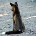 lone fox by Wickedlady