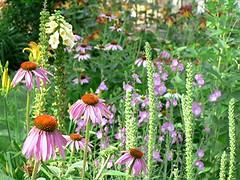 annual plant, prairie, flower, garden, plant, herb, wildflower, flora, purple coneflower,