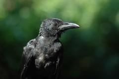 hummingbird(0.0), blackbird(0.0), rook(0.0), animal(1.0), wing(1.0), raven(1.0), nature(1.0), crow(1.0), fauna(1.0), close-up(1.0), american crow(1.0), beak(1.0), bird(1.0), wildlife(1.0),