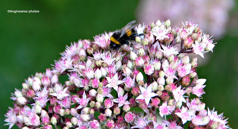 Bee in sedum