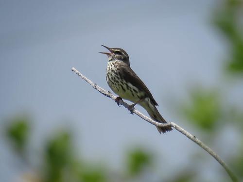 birds oregon northernwaterthrush parkesianoveboracensis
