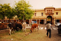 Bos taurus DT [IN Jaipur] (2)