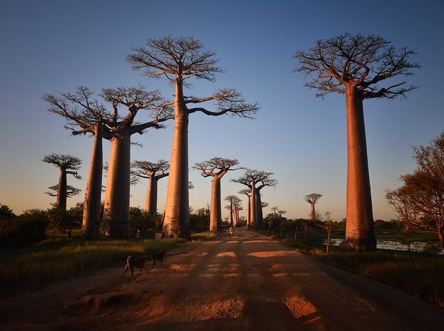 Sunset, Allee des Baobabs