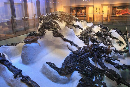 lying Iguanodons skeletons from Bernissart