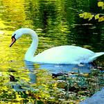 Autumn. Swan fleets on the Gold