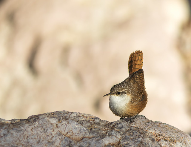 Canyon Wren 16 7D2_031115