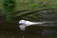 Bold Labrador swimming strongly in the river
