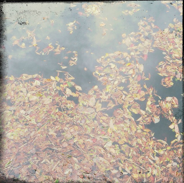 Fallen leaves on the water surface