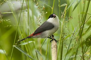 Black-crowned Waxbill - Kibale NP - Uganda_H8O5208