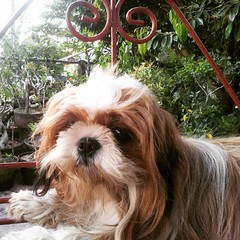 At the garden swing □□□ people watching □□□ #HersheyShihTzu #shihtzusofinstagramuse #shihtzu #ShihTzuPhilippines