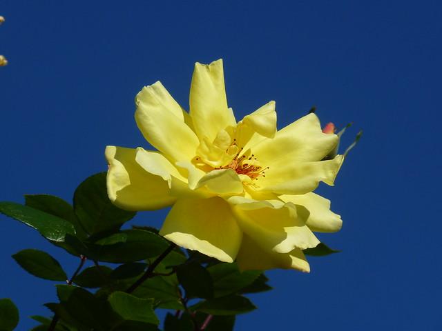 Taormina - Rose di Dicembre