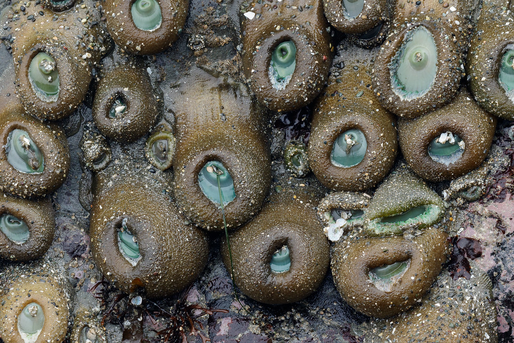 A group of giant green anemones hangs on a wall in a tidepool in Enderts Beach in Crescent City, California