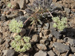 gray buckwheat, Eriogonum villiflorum