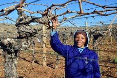 Die Mas vineyard, Wine Route, Upington, Northern Cape, South Africa