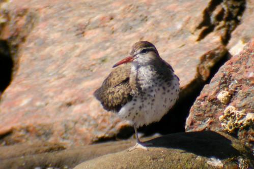 bird wildlife birding ornithology birdwatching oiseau faune spottedsandpiper ornithologie chevaliergrivelé