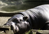 Pygmy hippo sun bathing by meazle