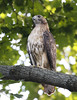 Red-tailed Hawk (sub-adult) by Redtail10025