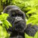 Mountain Gorila - Rwanda by Cristina Harboe Trugeda