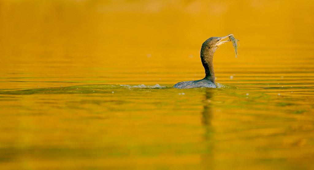 Cormorant With Fish_17