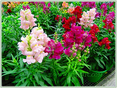 Antirrhinum majus (Common Snapdragon, Garden Snapdragon, Snapdragon, Dragon Flowers) in pastel and bright colours, Nov 3 2013
