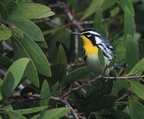 Yellow-throated Warbler 20151015