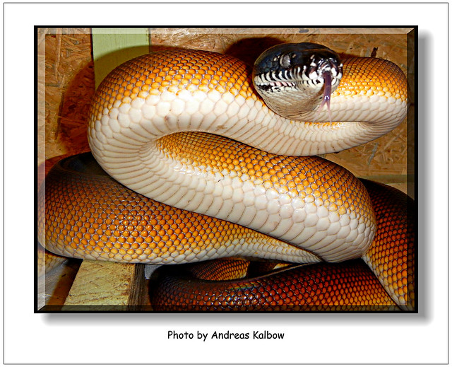 Scales-Reptiles September 2015 (19)