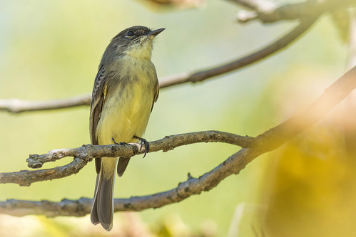 autumn green bird fall nature yellow burlington us newjersey nikon unitedstates wildlife spotlight perch easternphoebe palmyra regal flycatcher d7200 palmryacovenaturepark
