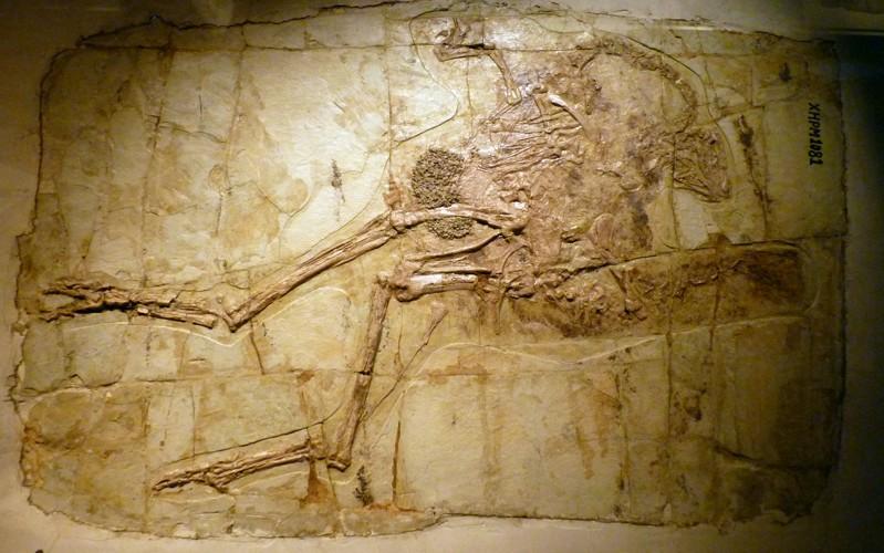 Caudipteryx zoui 22408614678_d5034624a4_o