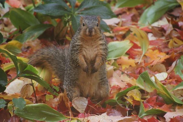 139/365/2695 (October 28, 2015) - Wet Autumn Squirrels at the University of Michigan (October 28, 2015) - Explored!