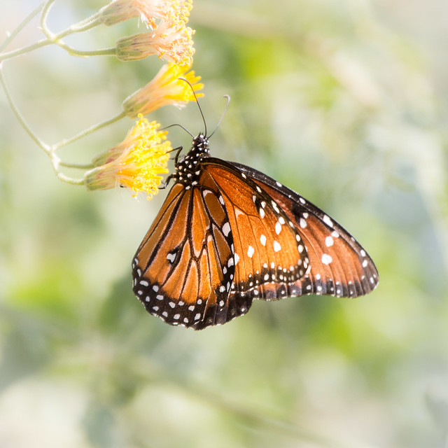 Soldier milkweed butterfly