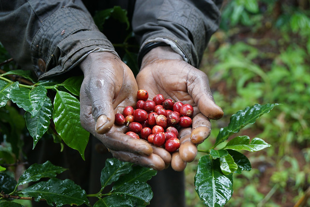 Fresh picked, fully ripe coffee cherries
