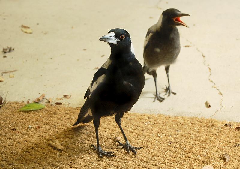 _magpies_1_