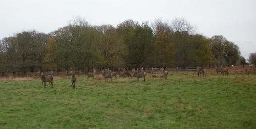 Deer panorama 2