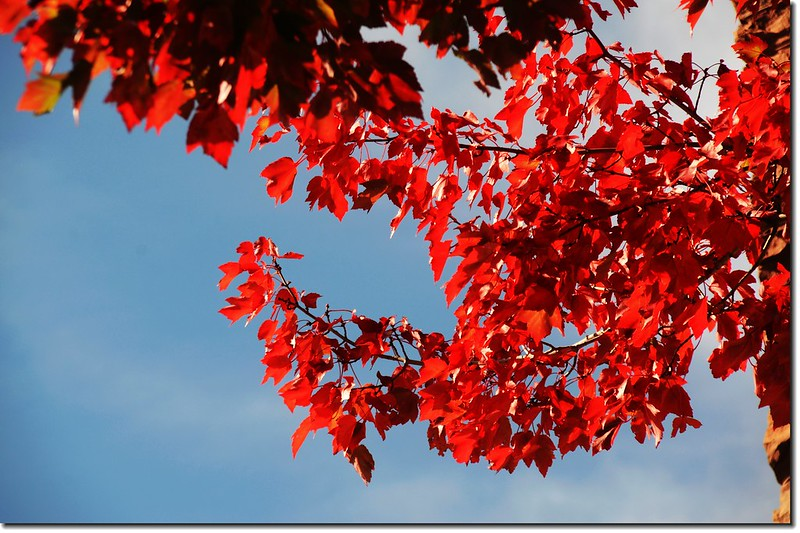 Red maple leaves 11