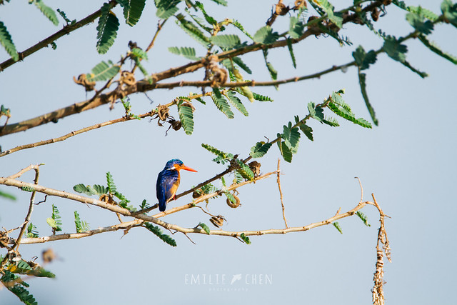Header of Alcedo cristata