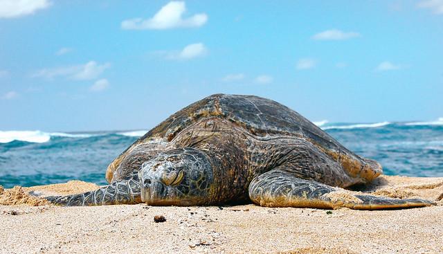Sea Turtle. (superfamily Chelonioidea)