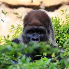 Sometime, it's hard to know who is watching whom. #gorilla #lowlandgorilla #curiosity #zoo