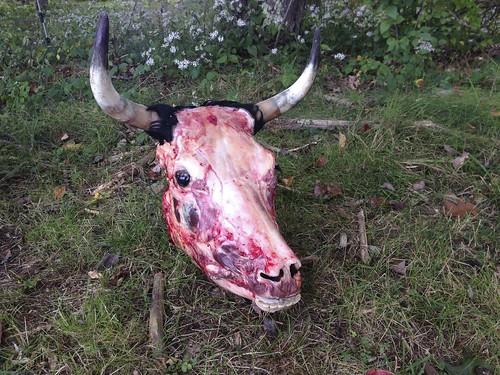 Cow skull fresh