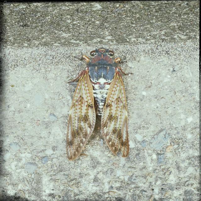 Cicada on a concrete